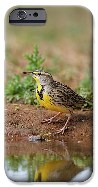 Meadowlark iPhone 6s Case - Eastern Meadowlark (sturnella Magna by Larry Ditto