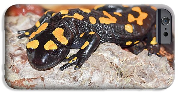 Fire Salamander (salamandra Salamandra) IPhone 6s Case by Photostock-israel