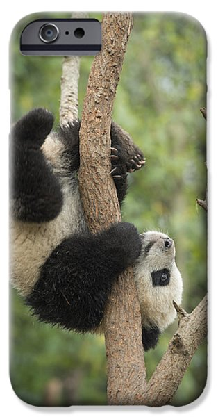 Giant Panda Cub In Tree Chengdu Sichuan IPhone 6s Case by Katherine Feng