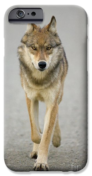 Gray Wolf Denali National Park Alaska IPhone 6s Case