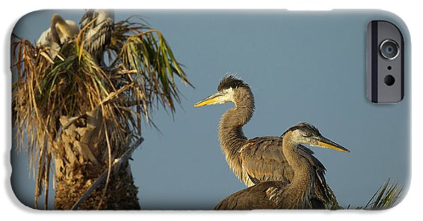 Anhinga iPhone 6s Case - Great Blue Heron Chick In Nest, Ardea by Maresa Pryor