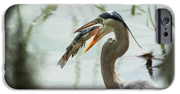Great Blue Heron With Fish In Mouth IPhone 6s Case by Sheila Haddad