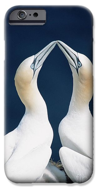 Greeting Northern Gannets Canada IPhone 6s Case by