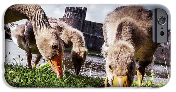 Gosling iPhone 6s Case - Greylag Geese Grazing by Paul Williams