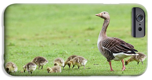 Gosling iPhone 6s Case - Greylag Goose And Goslings by John Devries/science Photo Library