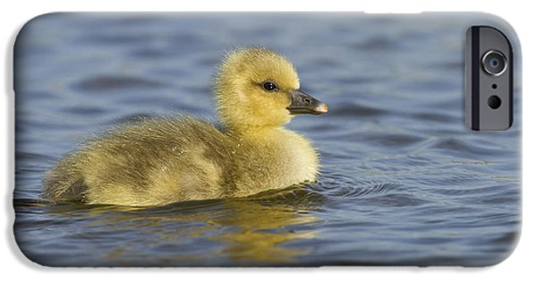 Gosling iPhone 6s Case - Greylag Goose Gosling Zeeland by Sytze Jongma