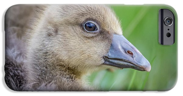 Gosling iPhone 6s Case - Greylag Goslings, Iceland by Panoramic Images