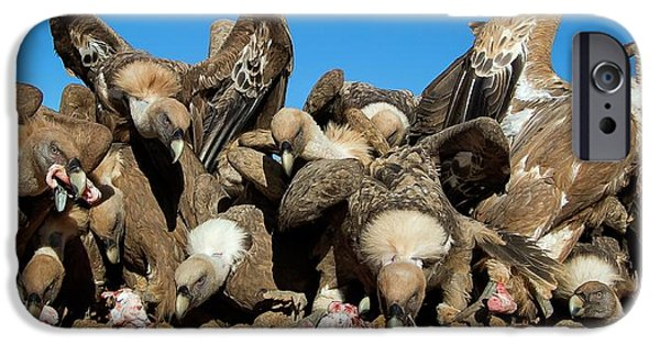 Griffon Vultures Feeding IPhone 6s Case by Nicolas Reusens