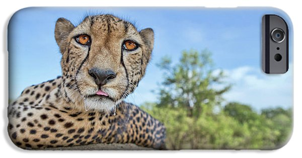 Cheetah iPhone 6s Case - Hungry Cheetah by Alessandro Catta