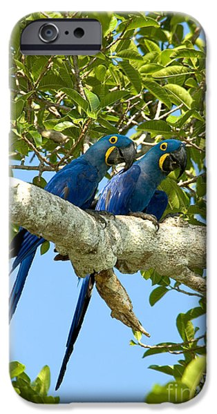 Hyacinth Macaws Brazil IPhone 6s Case by Gregory G Dimijian MD