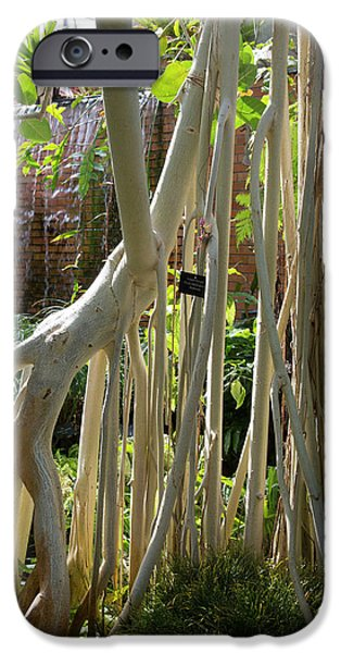 University Of Michigan iPhone 6s Case - Indian Banyan Tree (ficus Benghalensis) by Jim West