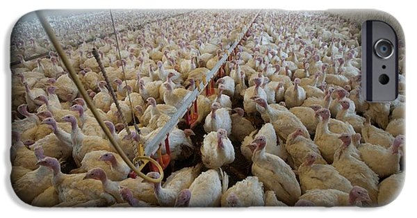 Intensive Turkey Farm IPhone 6s Case by Peter Menzel