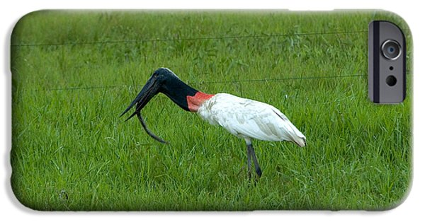 Jabiru Stork Swallowing An Eel IPhone 6s Case by Gregory G. Dimijian, M.D.