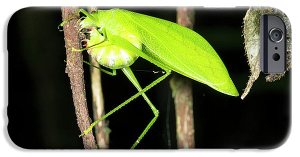 Katydid Laying Eggs IPhone 6s Case by Dr Morley Read