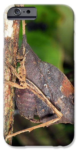 Leaf Mimic Katydid IPhone 6s Case by Dr Morley Read