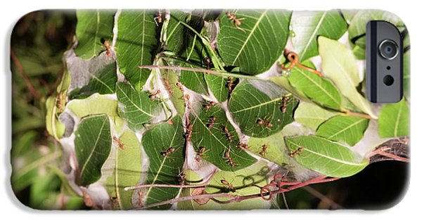 Leaf-stitching Ants Making A Nest IPhone 6s Case by Tony Camacho