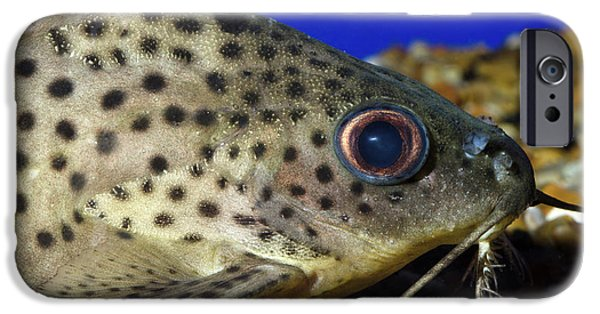 Leopard Sailfin Pleco IPhone 6s Case by Nigel Downer