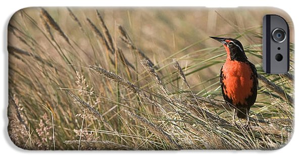 Long-tailed Meadowlark IPhone 6s Case by John Shaw
