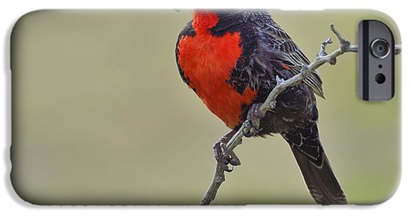 Long-tailed Meadowlark IPhone 6s Case