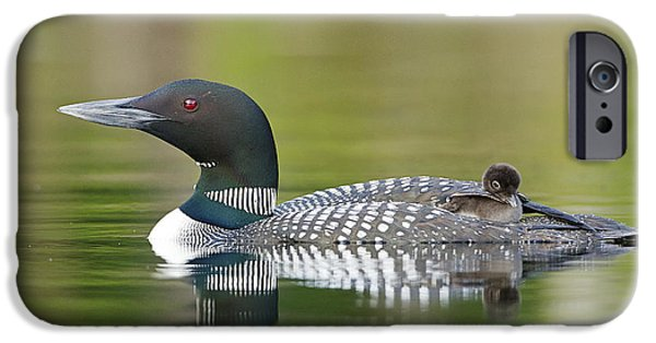 Loon iPhone 6s Case - Loon Chick With Parent - Quiet Time by John Vose