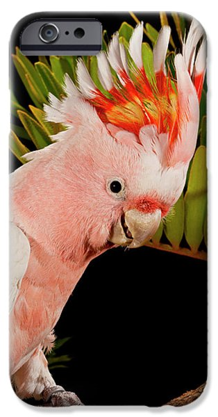 Cockatoo iPhone 6s Case - Major Mitchell's Cockatoo, Lophochroa by David Northcott