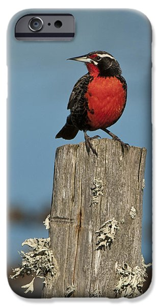 Male Long-tailed Meadowlark On Fencepost IPhone 6s Case by John Shaw