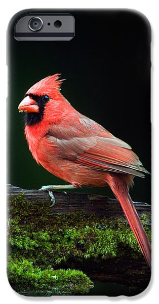 Male Northern Cardinal Cardinalis IPhone 6s Case by Panoramic Images