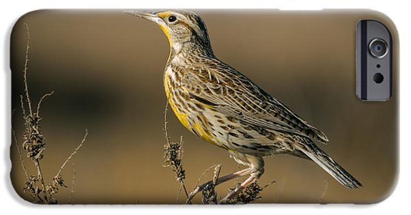 Meadowlark On Weed IPhone 6s Case by Robert Frederick