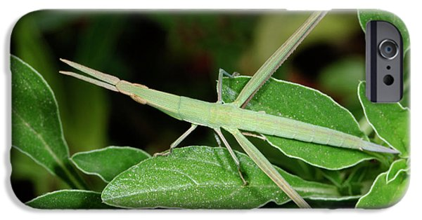 Mediterranean Slant-faced Grasshopper IPhone 6s Case by Nigel Downer