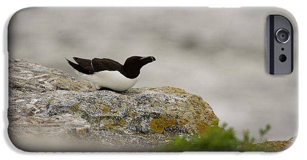 Razorbill iPhone 6s Case - Razorbill Alca Torda, A Big Diving Bird by Jose Azel