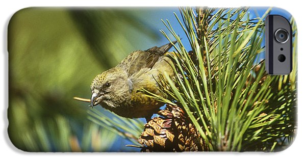 Red Crossbill Eating Cone Seeds IPhone 6s Case by Paul J. Fusco