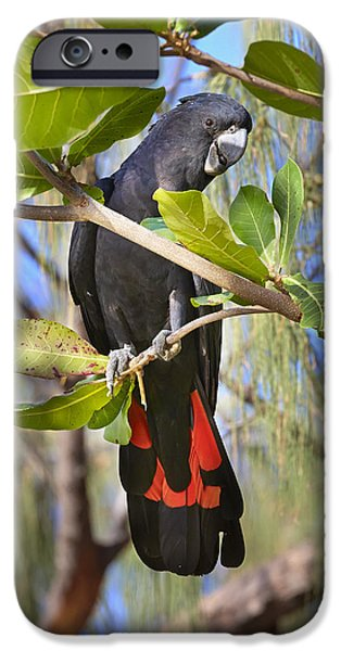 Cockatoo iPhone 6s Case - Red-tailed Black-cockatoo Queensland by Martin Willis