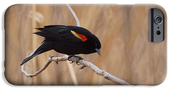 Red Winged Blackbird 1 IPhone 6s Case by Ernie Echols