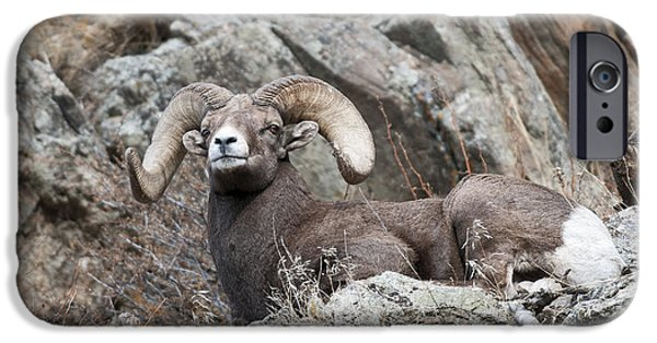 Rocky Mountain Bighorn Sheep iPhone 6s Case - Rocky Mountain Big Horn Ram On Watch II by Gary Langley