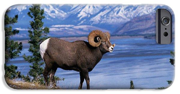 Rocky Mountain Bighorn Sheep iPhone 6s Case - Rocky Mountain Bighorn Ovis Canadensis by Animal Images