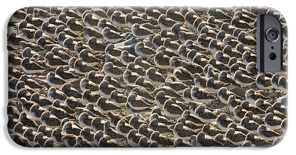Semipalmated Sandpipers Sleeping IPhone 6s Case by Yva Momatiuk John Eastcott