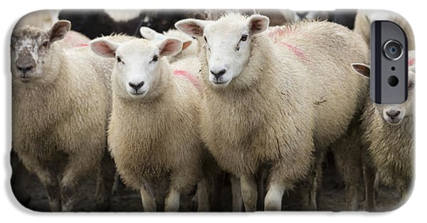 Sheep iPhone 6s Case - Sheep In A Farm Yard by Louise Heusinkveld