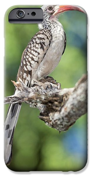 Southern Red-billed Hornbill IPhone 6s Case
