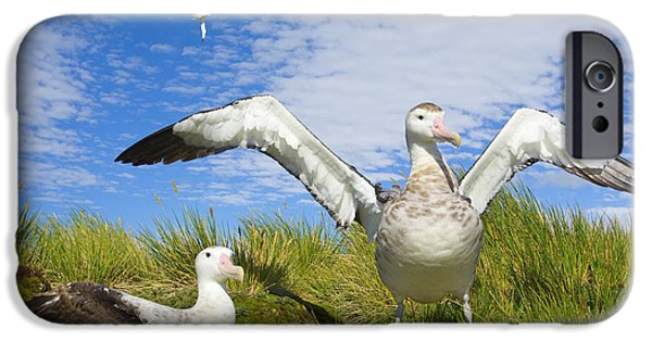 Wandering Albatross Courting  IPhone 6s Case by Yva Momatiuk John Eastcott