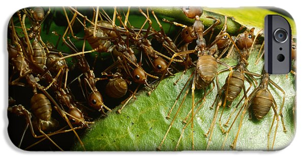 Weaver Ant Group Binding Leaves IPhone 6s Case by Mark Moffett