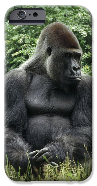 Western Lowland Gorilla Male IPhone 6s Case by Konrad Wothe