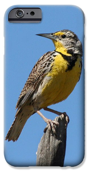 Western Meadowlark Perching IPhone 6s Case
