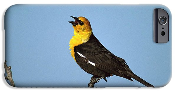 Yellow-headed Blackbird Singing IPhone 6s Case by Tom Vezo