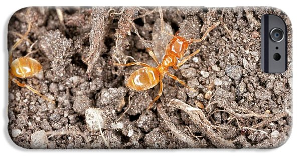 Yellow Meadow Ants IPhone 6s Case by Bob Gibbons