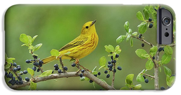 Blue Berry iPhone 6s Case - Yellow Warbler Male Perched On Elbow by Rolf Nussbaumer