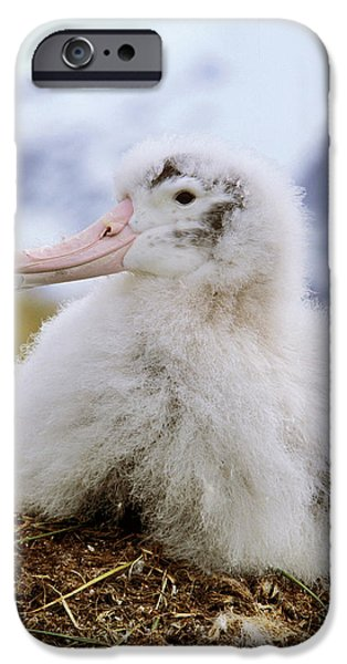 Young Wandering Albatross (diomendea IPhone 6s Case