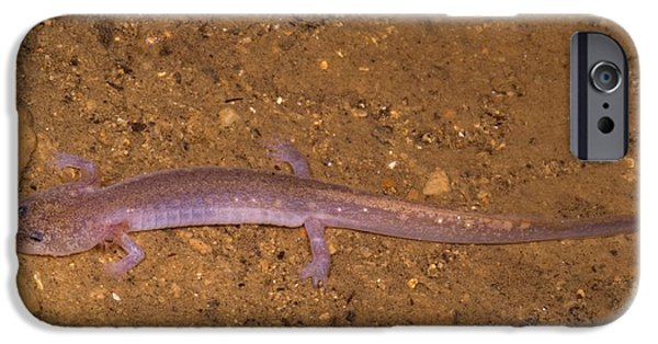 Ozark Blind Cave Salamander IPhone 6s Case by Dante Fenolio