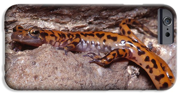 Cave Salamander IPhone 6s Case by Dante Fenolio