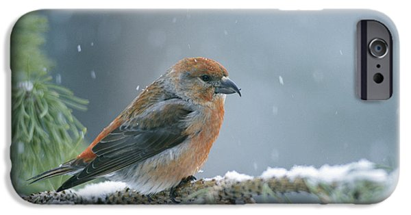 A Red Crossbill Loxia Curvirostra IPhone 6s Case
