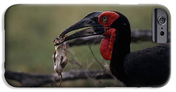 A Southern Ground Hornbill Prepares IPhone 6s Case